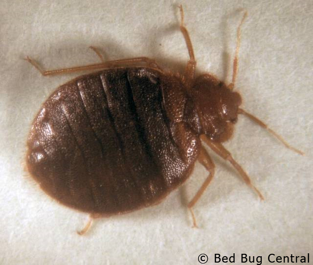 Black bed bugs with wings - photo#20